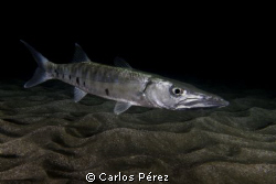 Barracuda, I found this baby lost in the dark on a Nigth ... by Carlos Pérez
